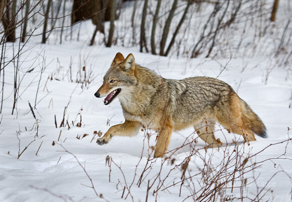094 Coyote (Canis latrans - Maine