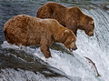 007_Grizzly bears_AK