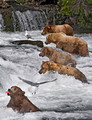 005_Grizzly bears_AK