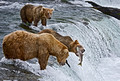 008_Grizzly bears_AK