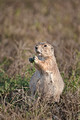 017_Black-Tailed Prairie Dog (Cynomys ludovicianus)_ND