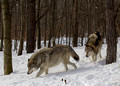 106 Gray Wolves (Canis lupus) - NJ