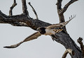 221 Black-chested Snake Eagle (Circaetus pectoralis) - KNP South Africa