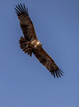 222 Tawny Eagle (Aquila rapax) - KNP South Africa