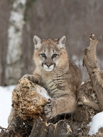 092 Mountain Lion or Cougar (Puma concolor) - Minnesota Wildlife Connection