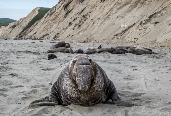 175 Northern Elephant Seals (Mirounga angustirostris) - Point Reyes CA