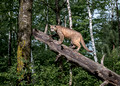 190 Mountain Lion or Cougar (Puma concolor) - Minnesota Wildlife Connection
