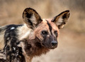311 African Wild Dog (Lycaon pictus) - KNP South Africa