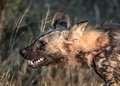 312 African Wild Dog (Lycaon pictus) - KNP South Africa