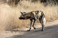 316 African Wild Dog (Lycaon pictus) - KNP South Africa