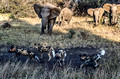 321 African Wild Dogs (Lycaon pictus) being harassed by elephants- KNP South Africa