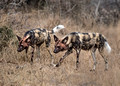 325 African Wild Dogs (Lycaon pictus) - KNP South Africa