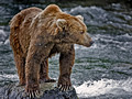 020_Grizzly bears_AK