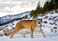 008_Mountain Lion
