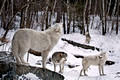 010_Arctic and Gray Wolves_MN