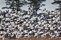 011 Snow Geese  (Chen caerulescens)  Blackwater NWR - MD