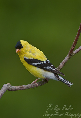 001 Gold Finch - NJ