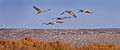 009 Sandhill Cranes and snow geese - NM
