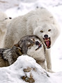 014_Gray and Arctic Wolves_MN